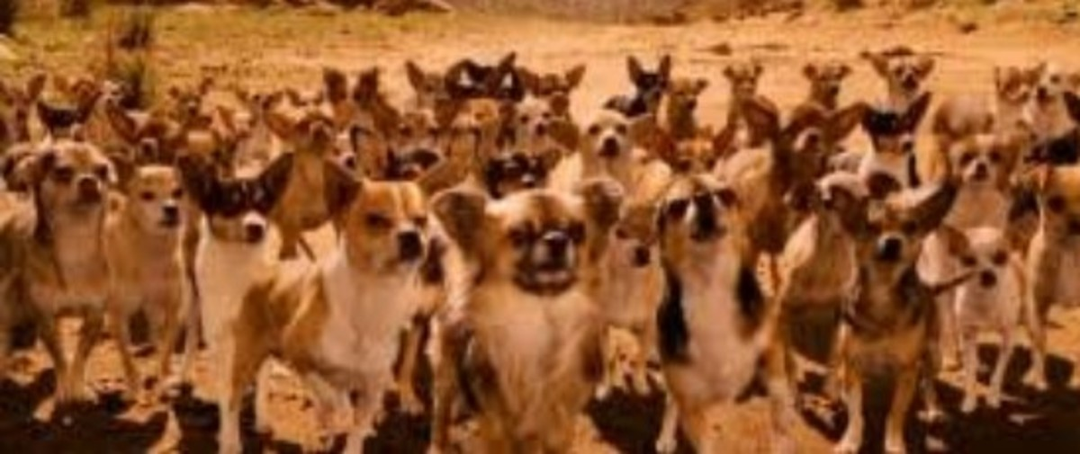 a-junkyard-general-part-eight-the-fifty-chihuahua-army