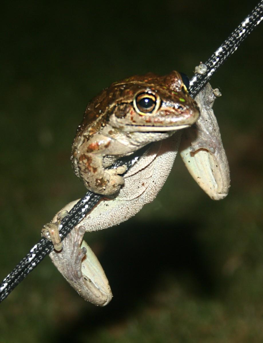 Motorbike frog just hanging around...