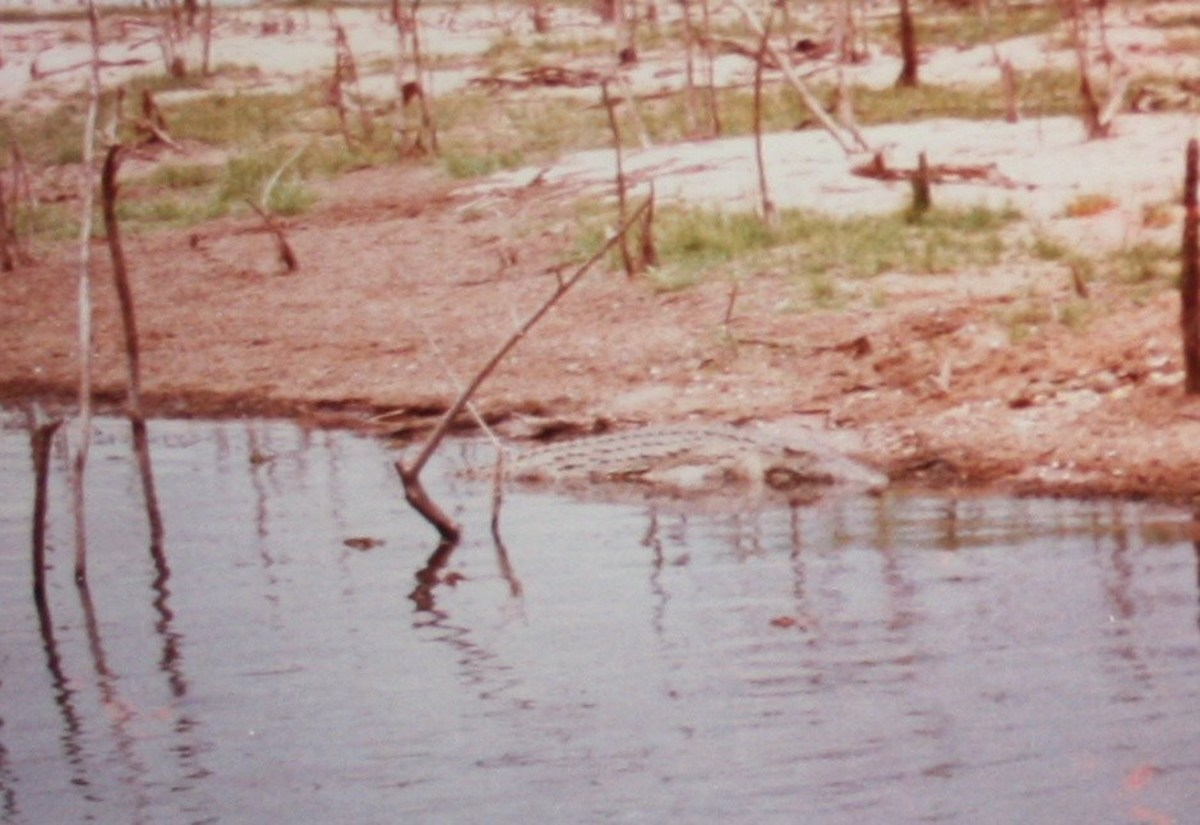 A crocodile on the banks of Lake Kariba