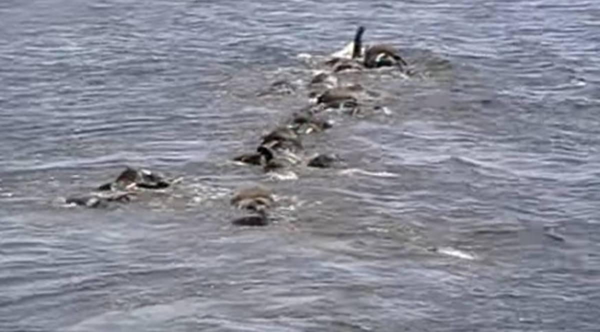 Elephants swimming across the lake