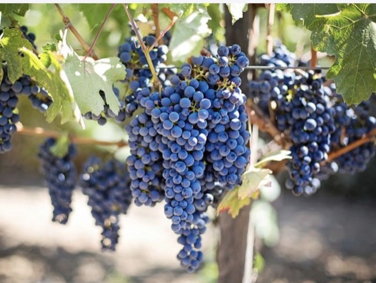 The fruit of the vines