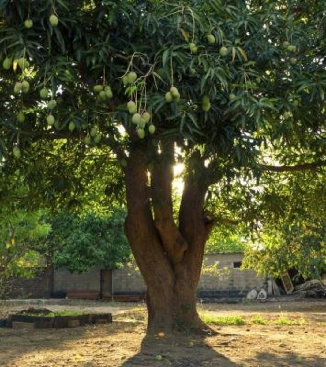 The young sapling grew to be an immense mango tree