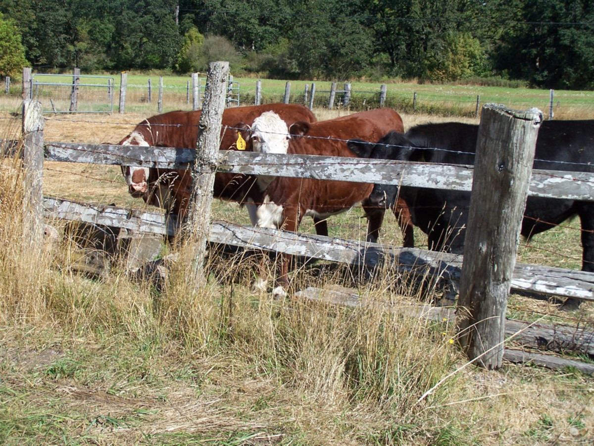 Lazy cattle