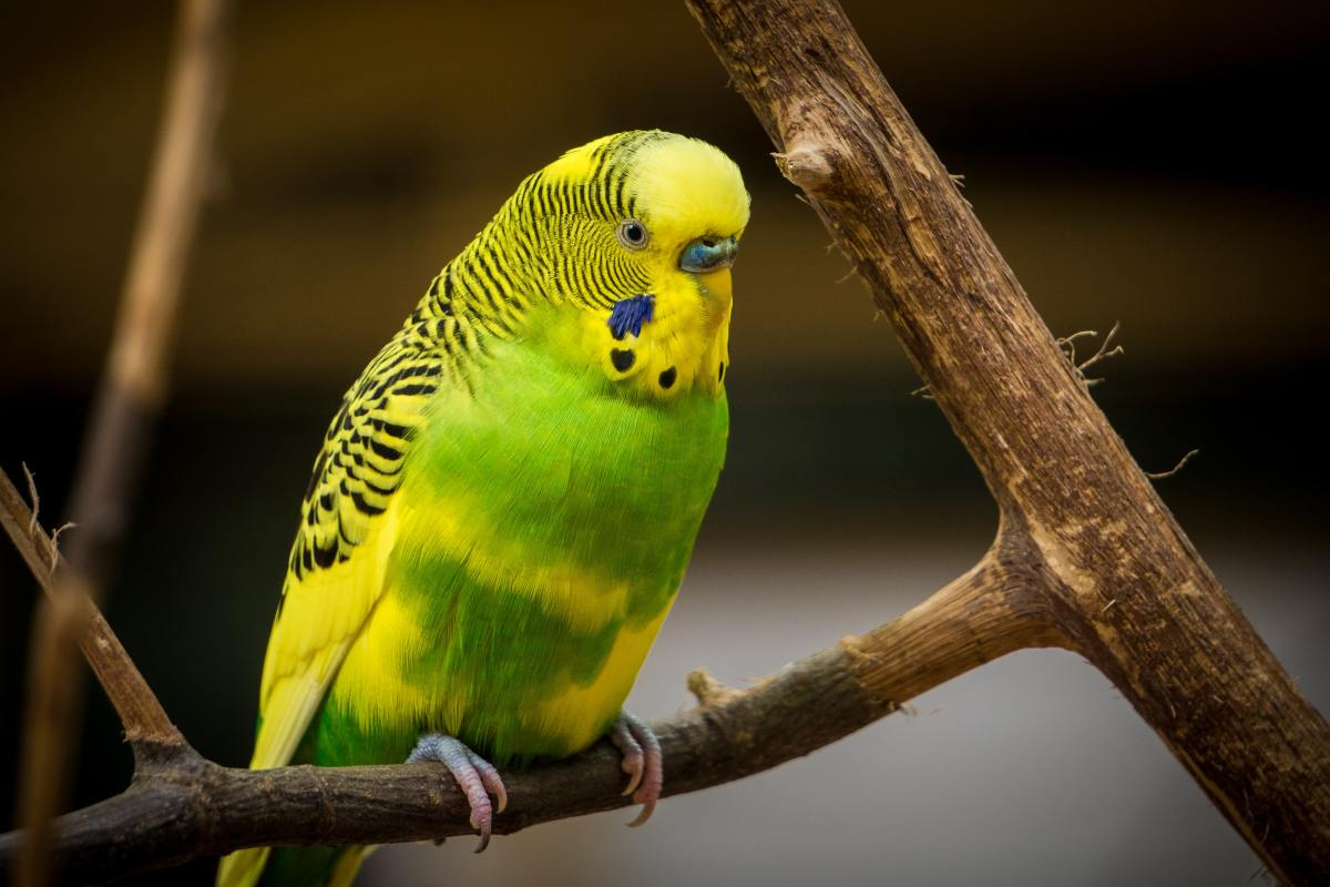 pete-the-parakeet