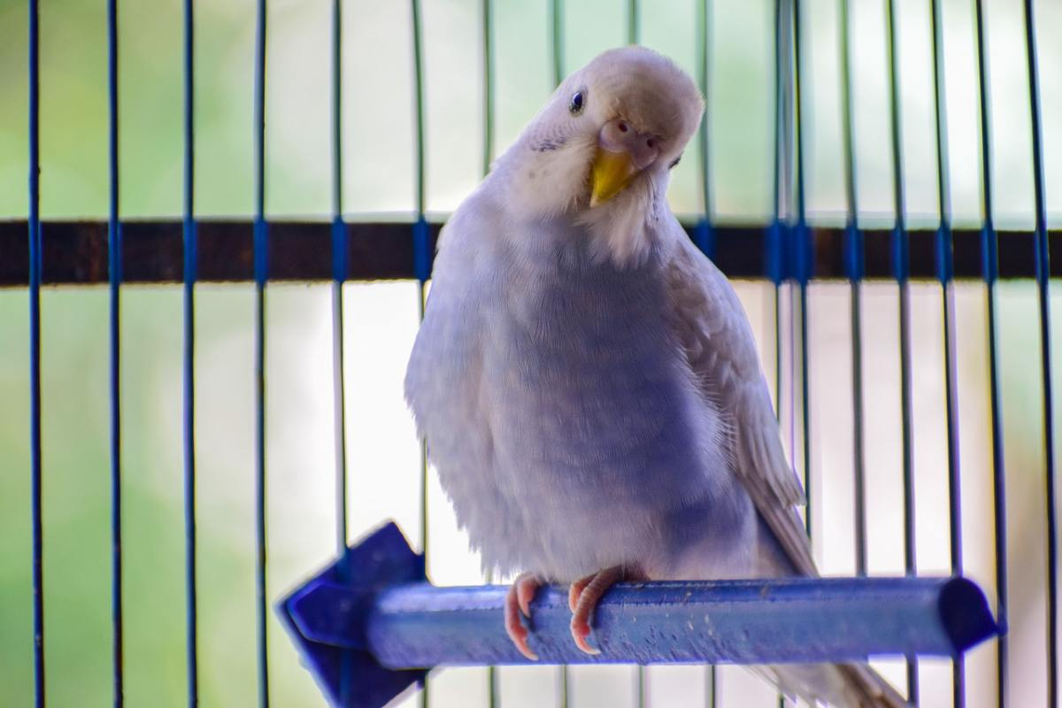 Budgerigar: Photo by Oli Sumit from Pexels
