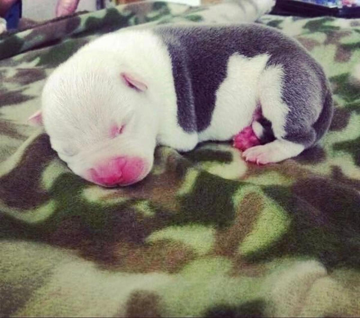 Bruiser Salvador born July 26, 2014. First pic at his new home 3 days old.