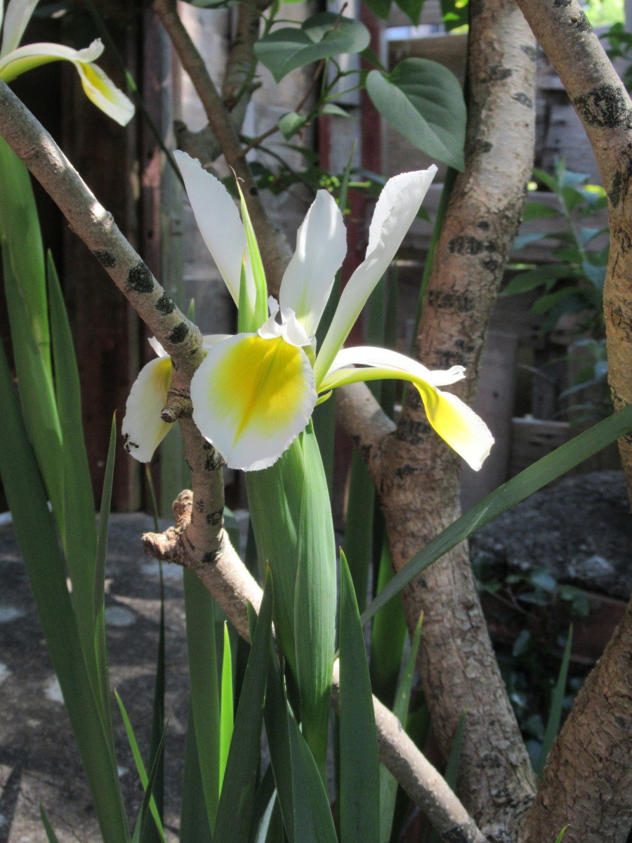 Yellow Iris - (like those on the Somerset Rhynes)