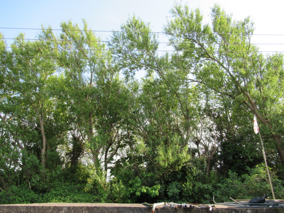New Green Shoots on the Willows
