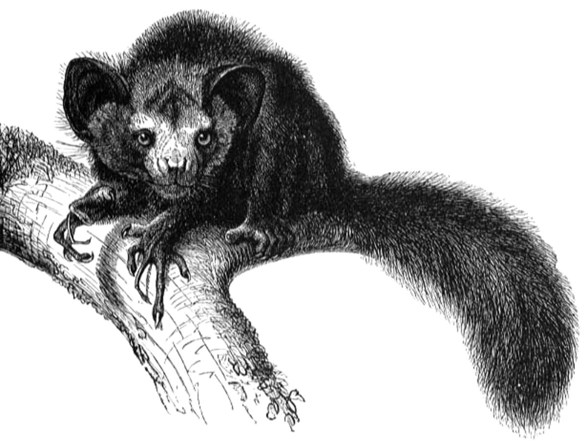 Aye-ayes are only found in Madagascar