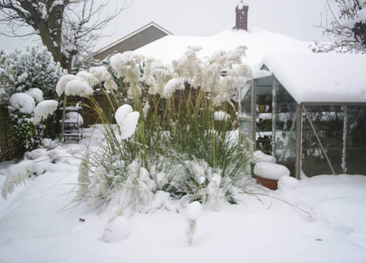 please help is my pampas grass dead. Black Bedroom Furniture Sets. Home Design Ideas