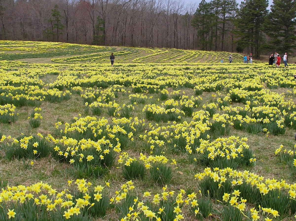 A field full of daffodils bloom in March. As far as I know, none are Derwydds.