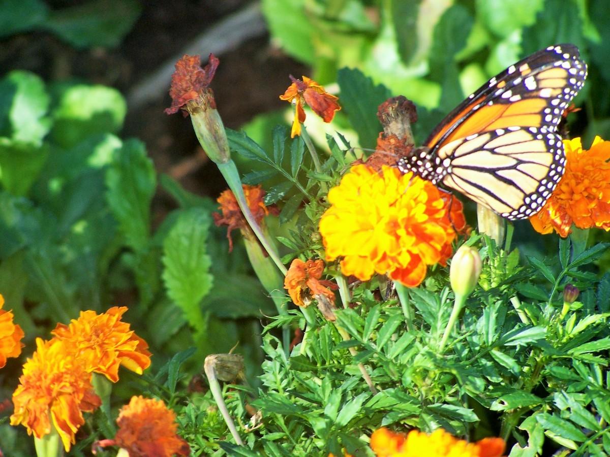 butterflies-of-autumn