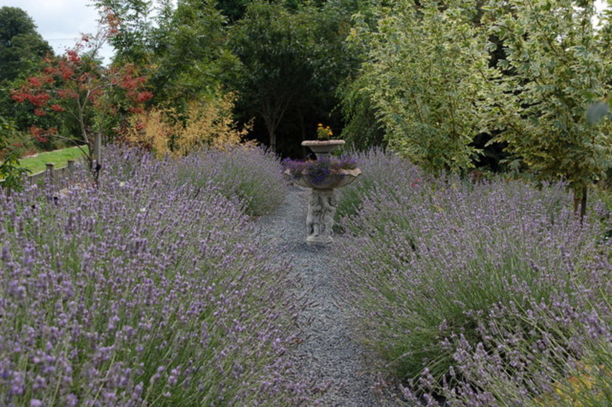 English Lavender Garden