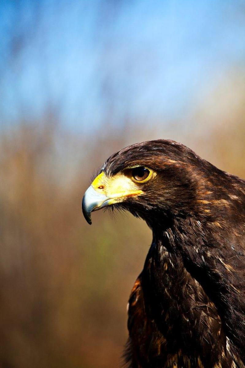 a-day-out-with-a-harris-hawk