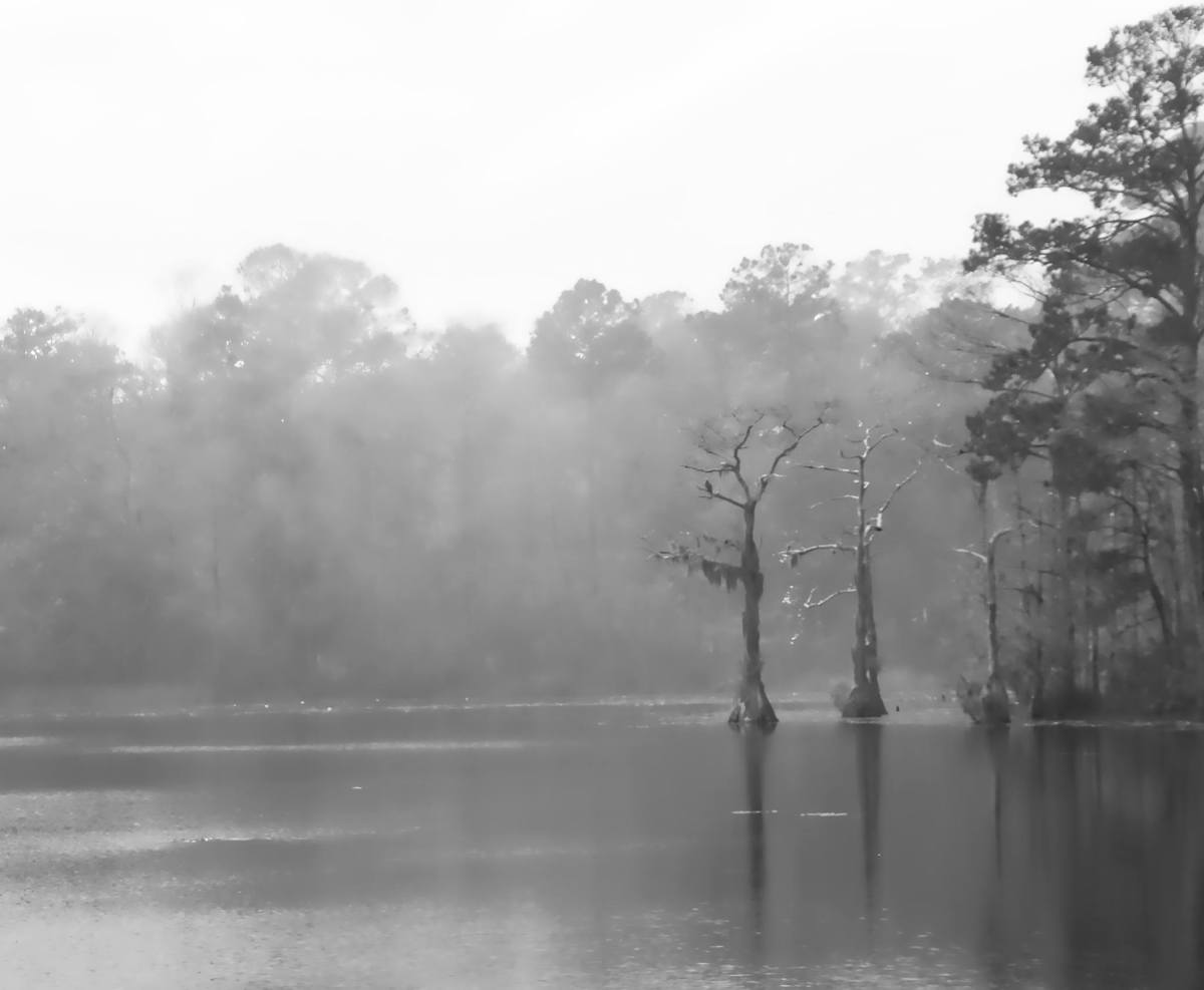 Cypress trees rise from a deep water swamp in southeastern NC.