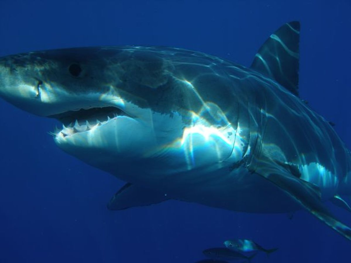 hungry-shark-song-lyrics