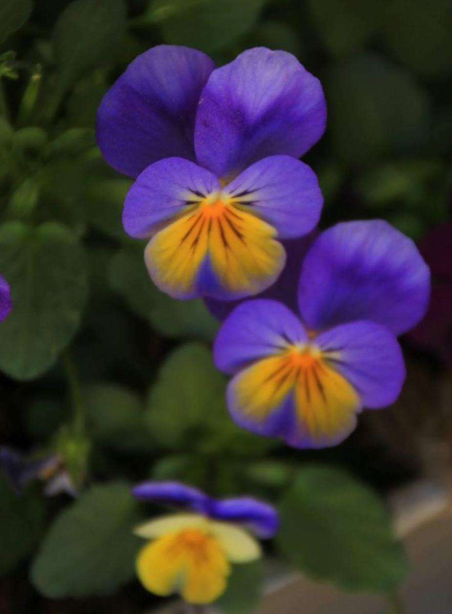 A trio of purple pansies