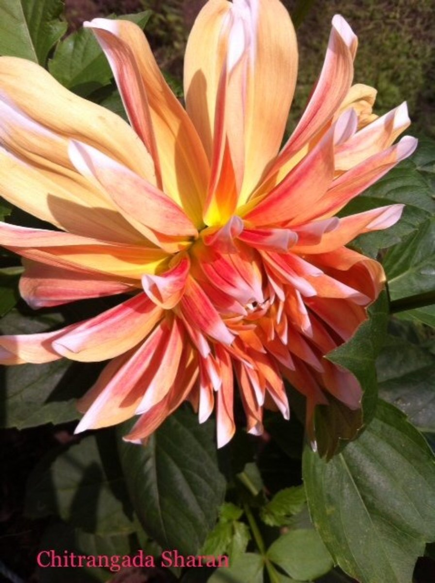 Orange combines the energy of red and the happiness of yellow. What a pretty combination!—Pink with traces of orange, Dahlia flower