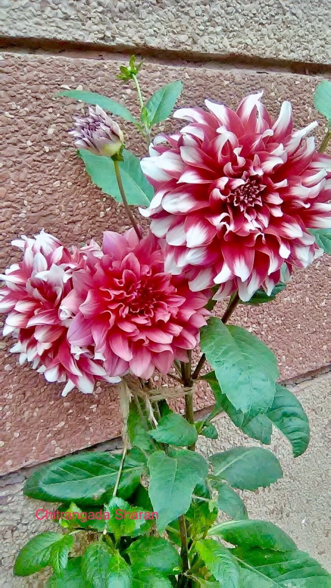 Flowers blossom in a bunch and they love it—Dahlia colours, fabulous pink