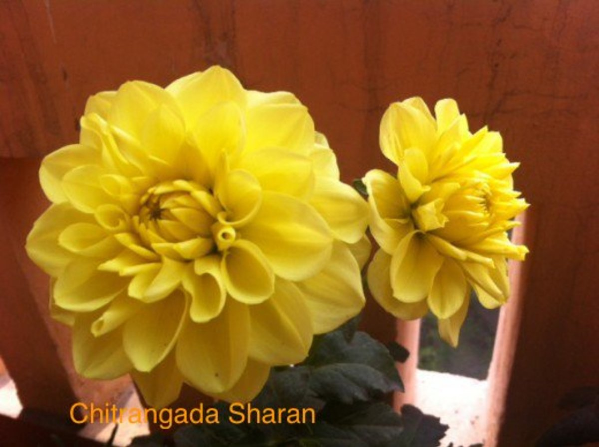 The colour yellow always energises—Yellow flowers in my terrace garden
