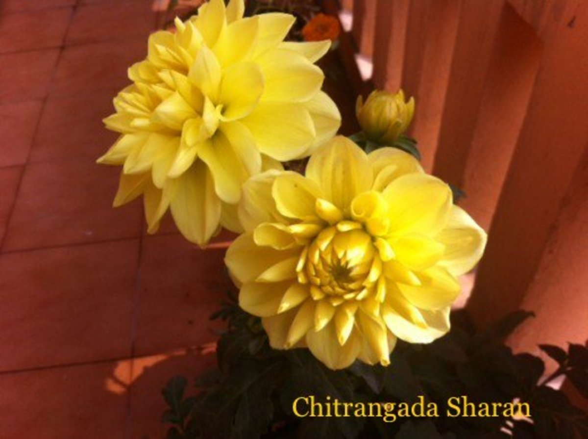 Yellow colour means positive energy—Yellow Dahlia