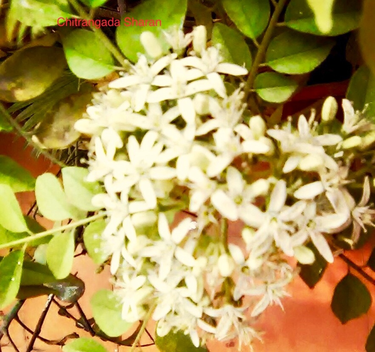 The colour white signifies purity and innocence—White flowers blossom on a curry plant