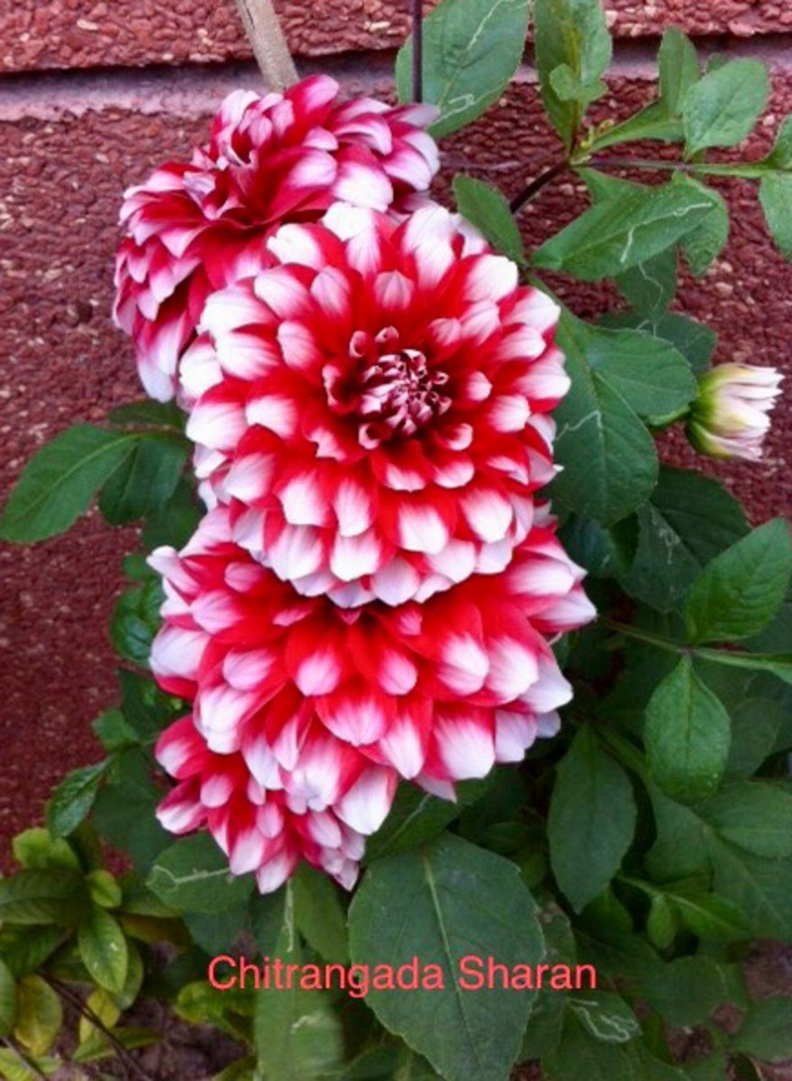 Amazing colour combination, only Nature can create—Bright pink Dahlia flowers