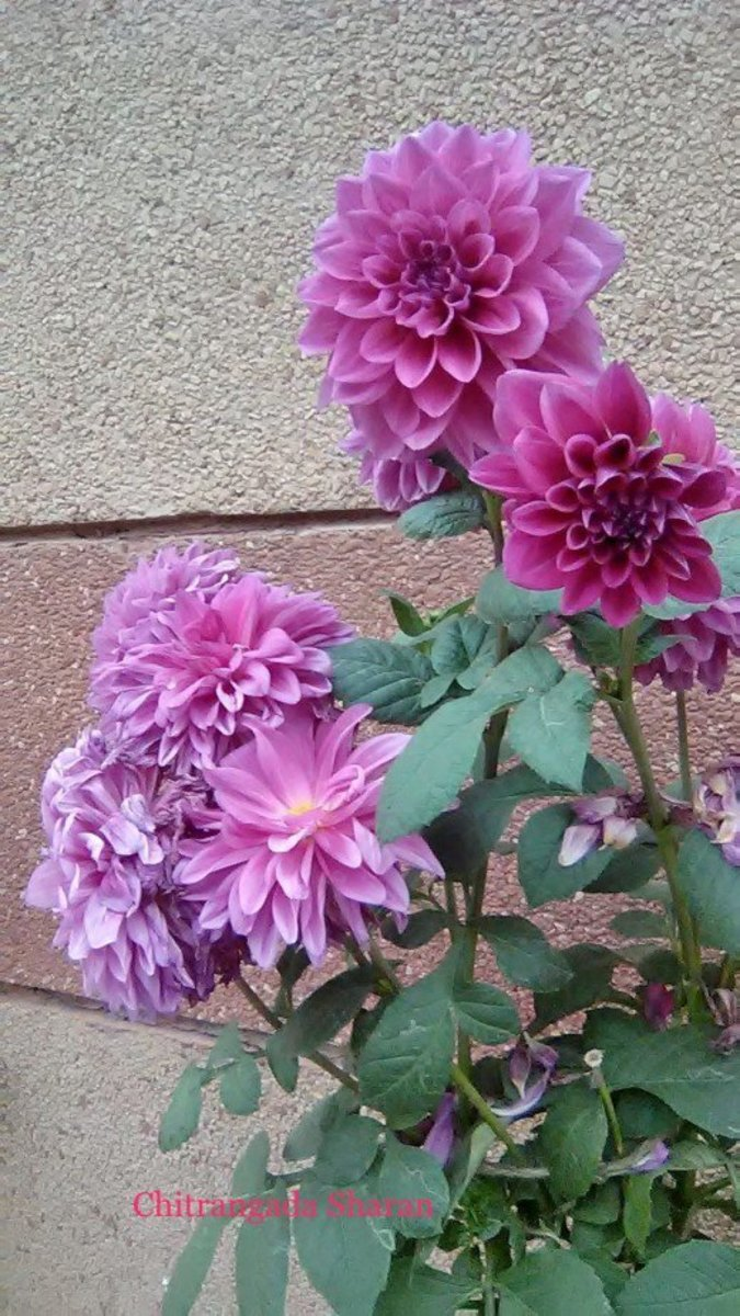 Happy in a bunch together—Lovely pink Dahlia flowers