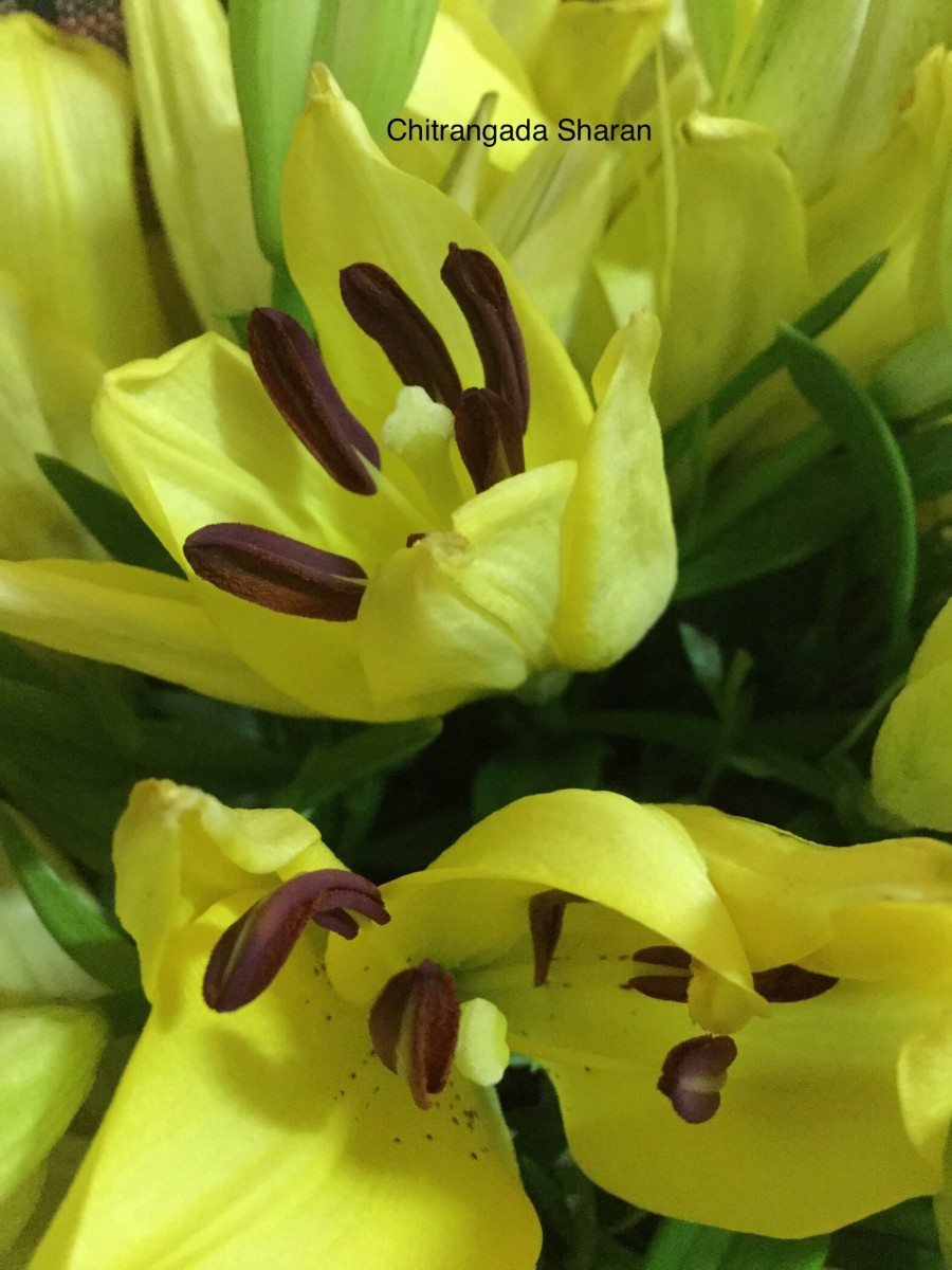 A close up of Yellow Lilies