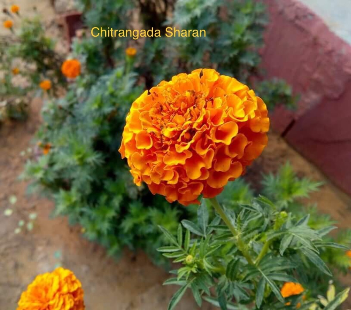 The Sunshine yellow of the Marigold
