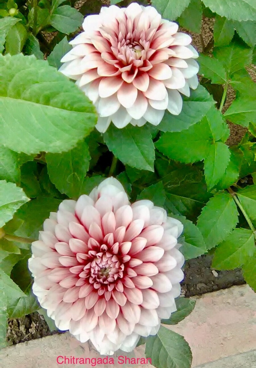 Pink colour signifies feminine, delicate and romantic—The Pink beauties—Dahlia