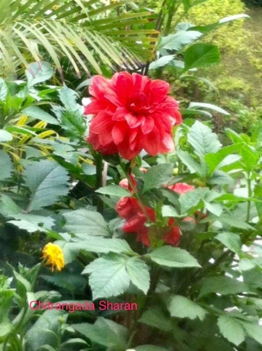 The colour red symbolises Power and Love—Red Dahlia flower