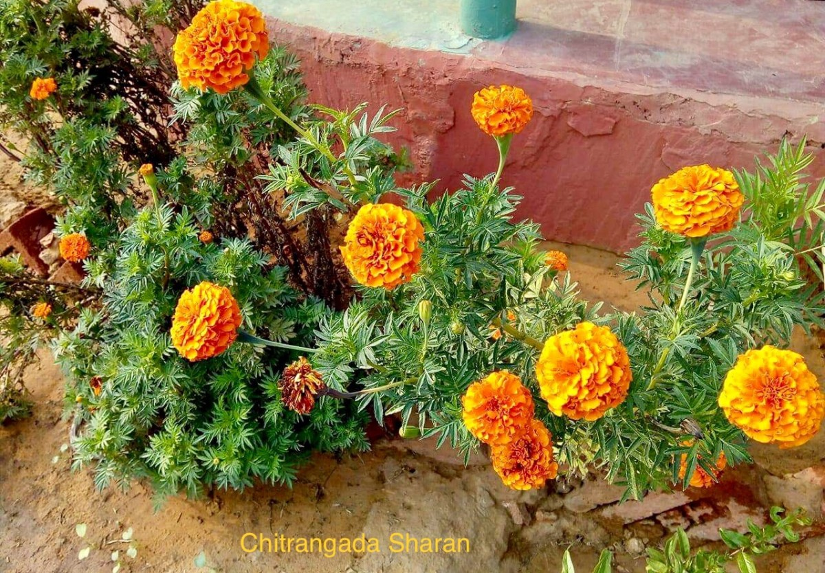 Marigold flowers, so many to brighten the day
