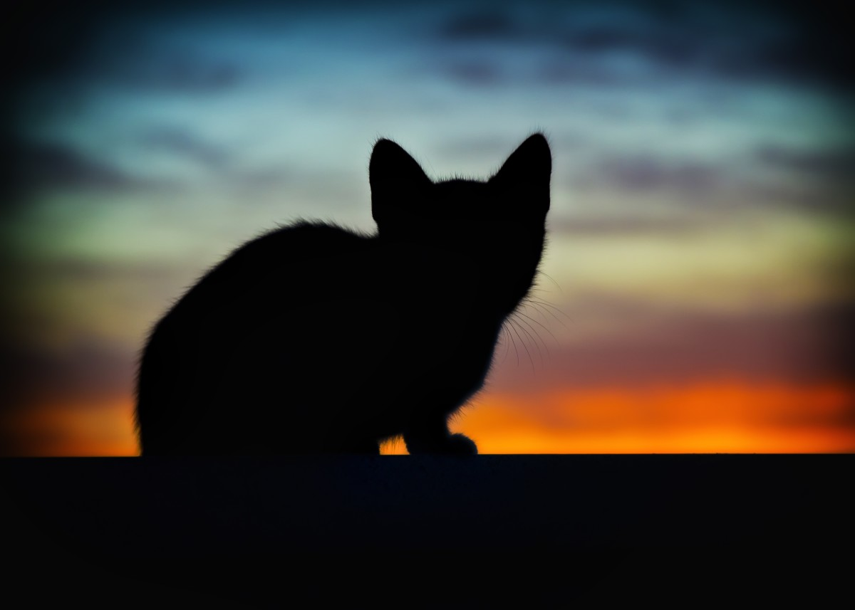 A lonely black kitten searches for food at dusk.