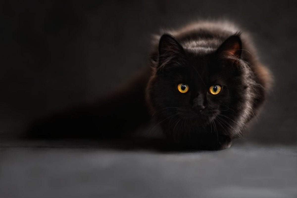 A black cat, ready to pounce.