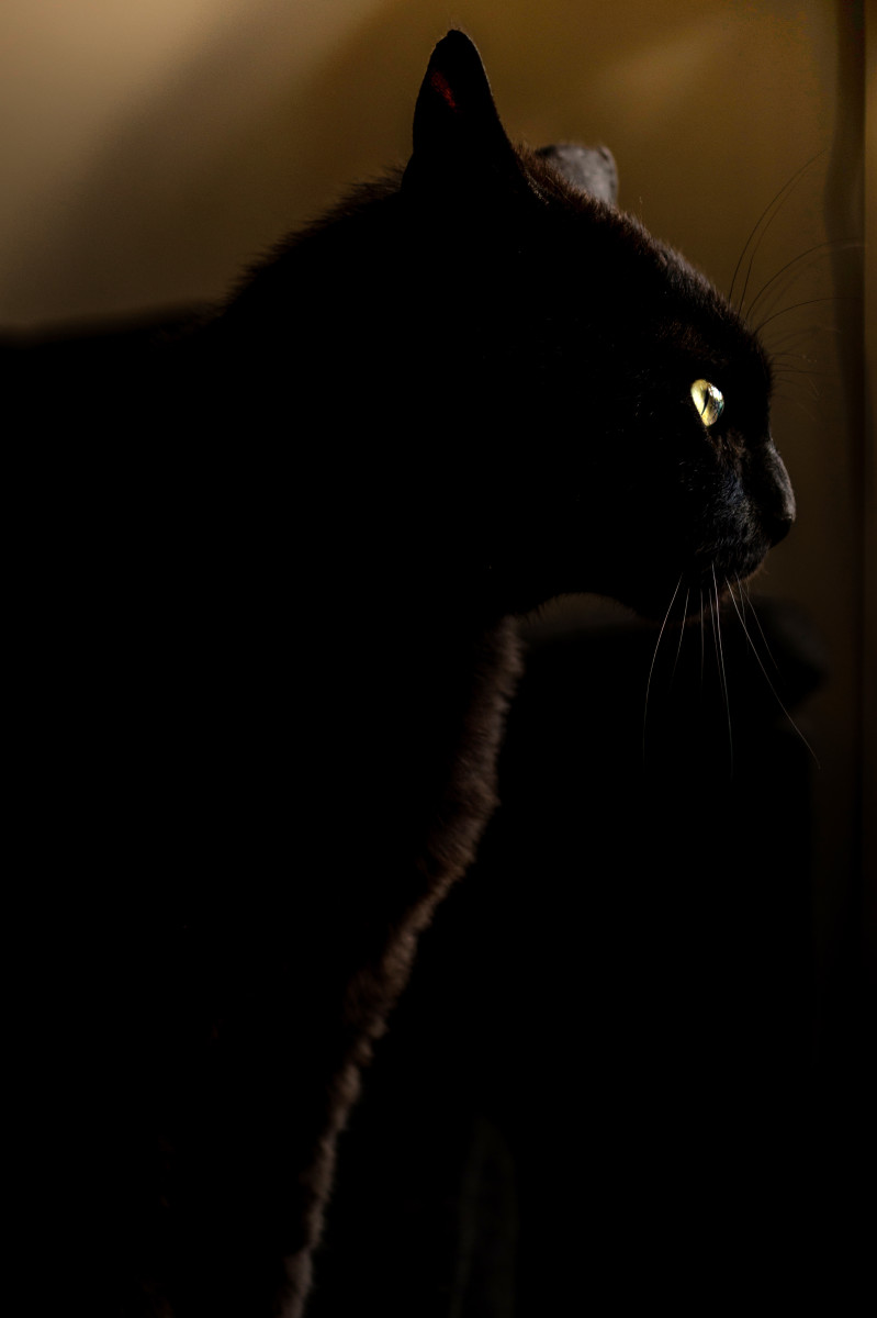 A black cat, ready to pounce on its prey.