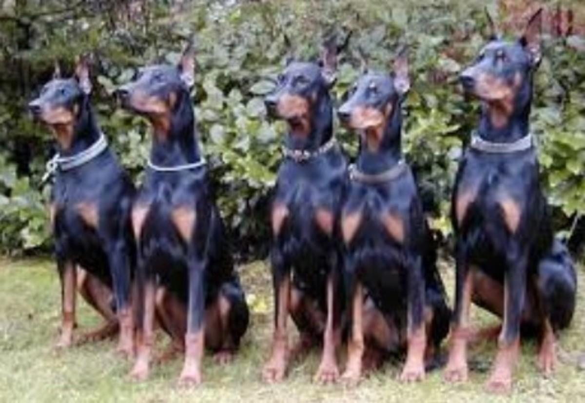 a-junkyard-dog-general-part-seven-the-doberman-brothers