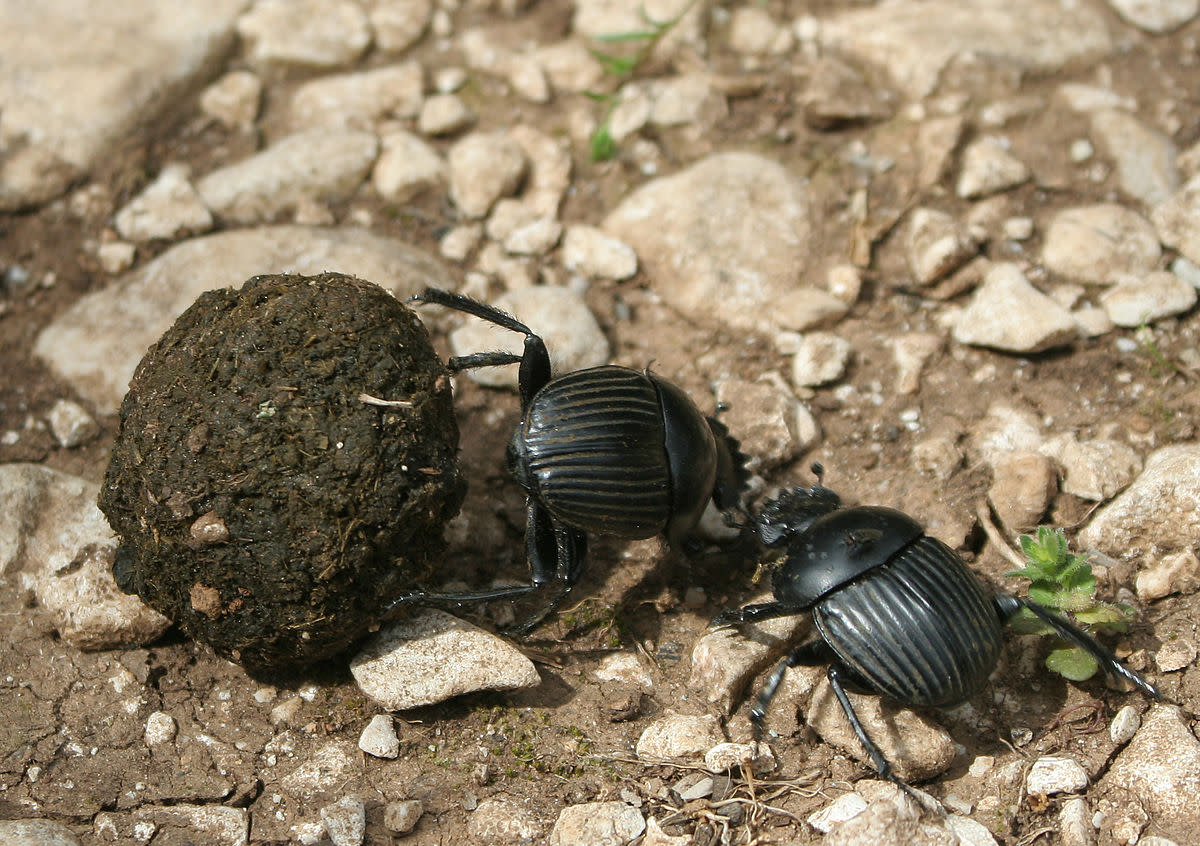 Two dung beetles fighting over ball of dung.