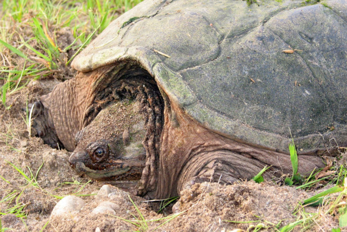Frontal view of female snapping turtle--Cheldra serpentina.