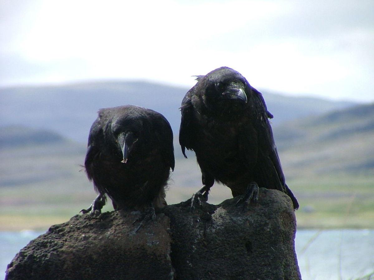Corvus on a Scar