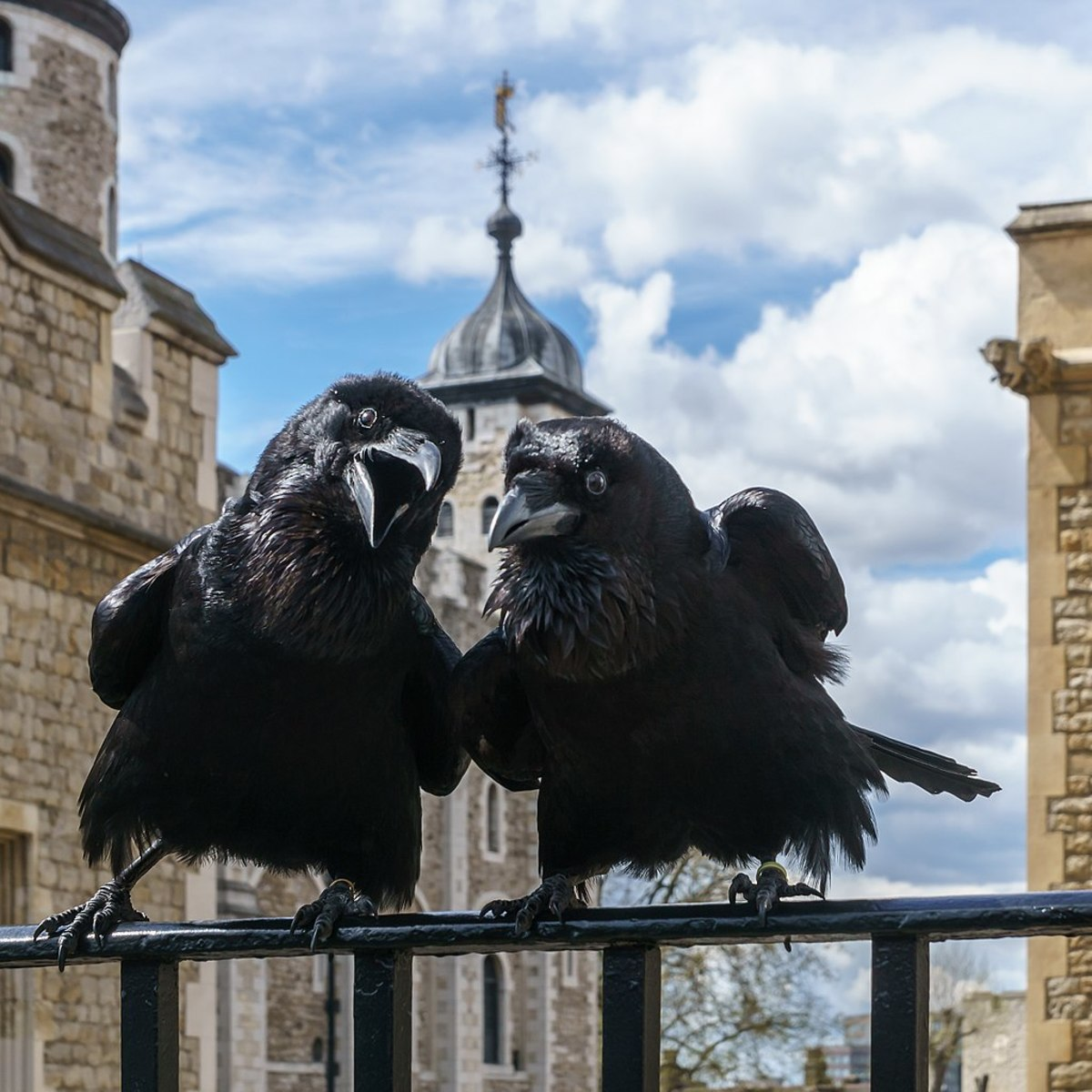Jubilee & Munin at the Tower of London