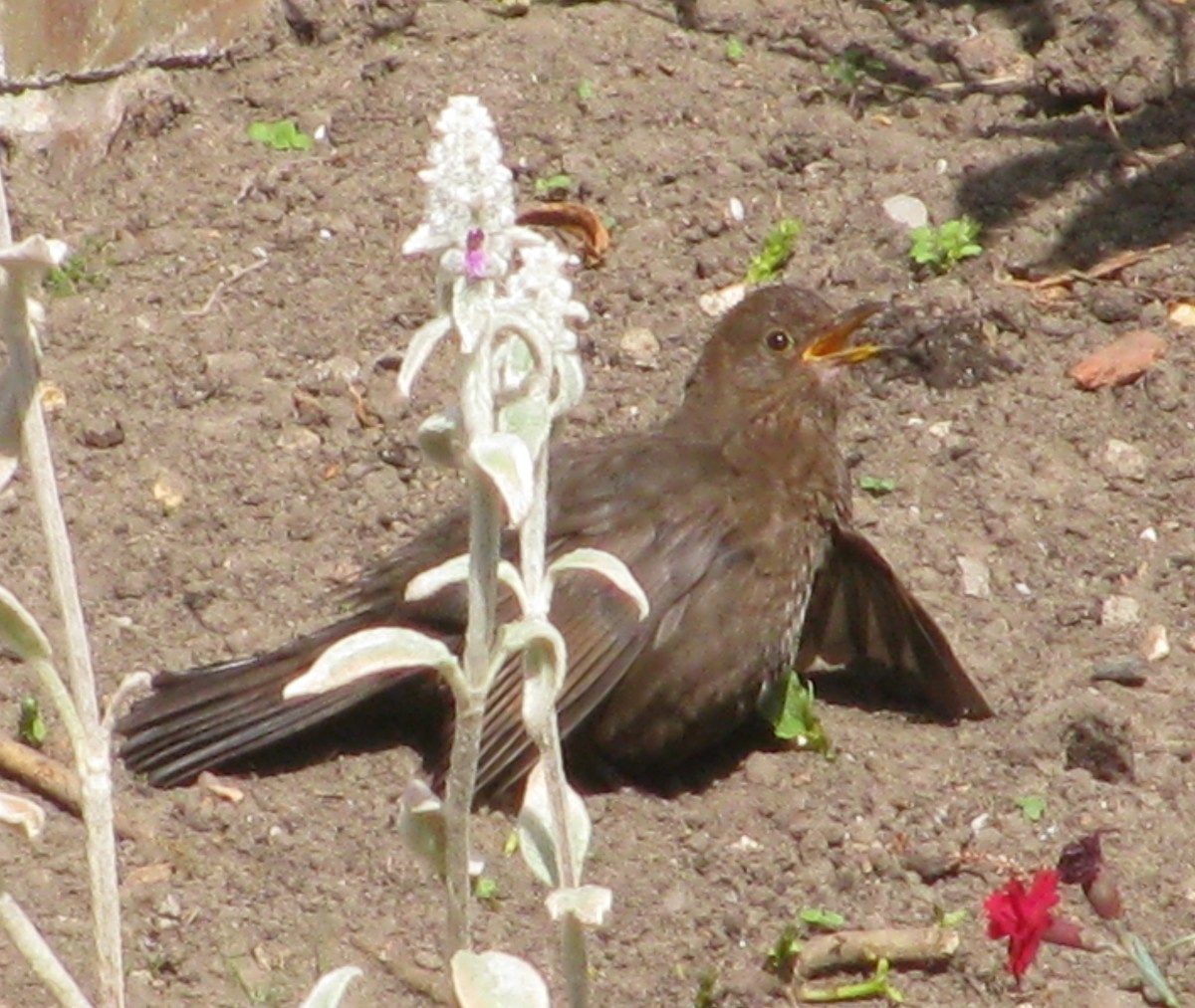 Mrs Blackbird, Sunbathing in our Garden