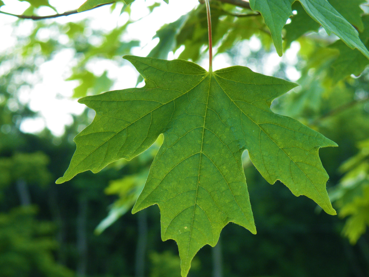 A leaf that is very much alive instead of withering
