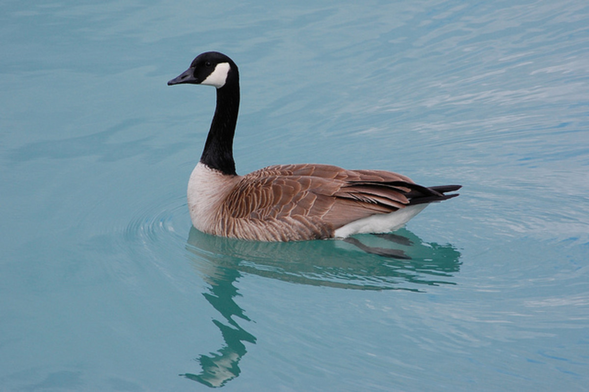a-goose-tail-of-intuition