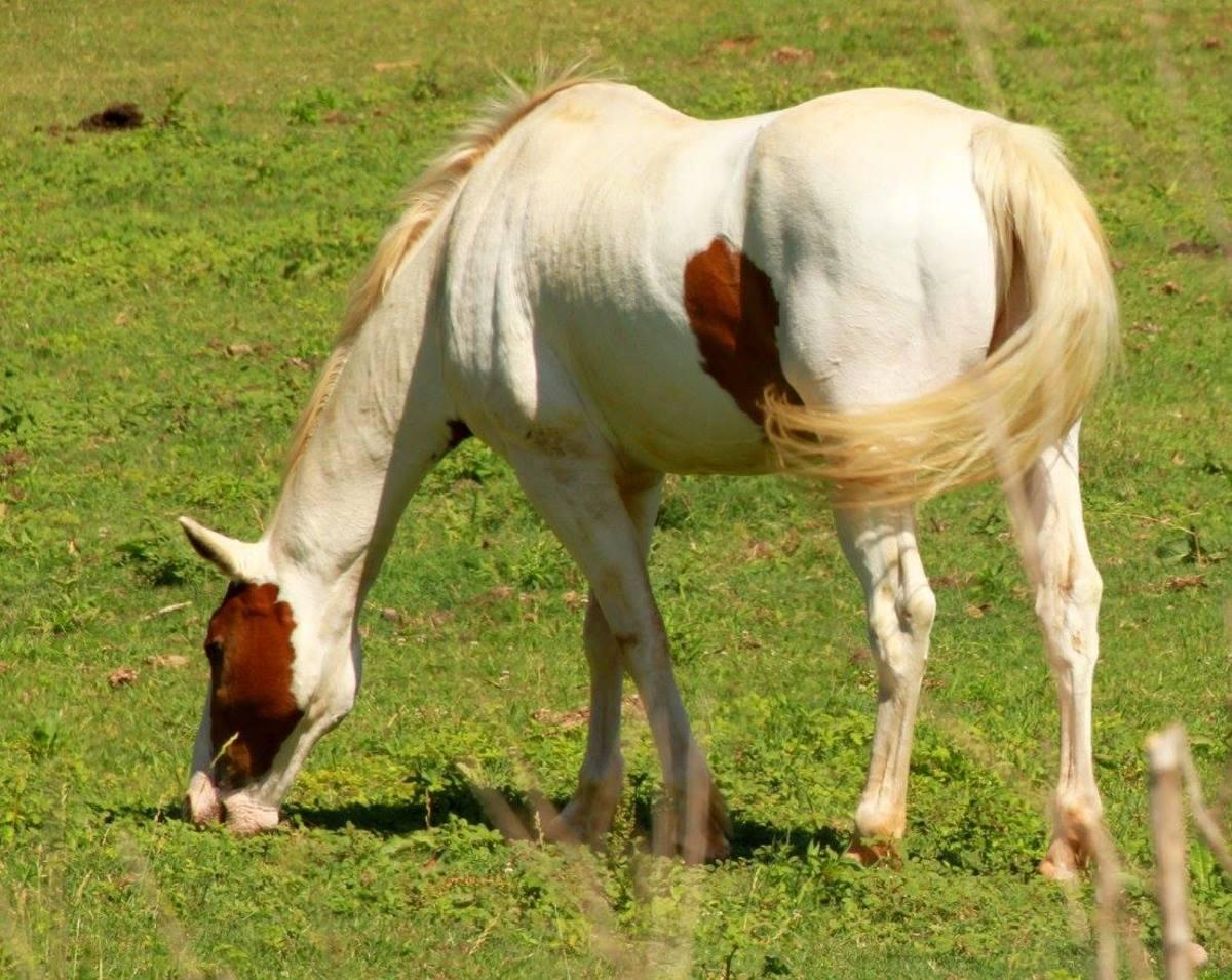 A Paint Horse mare grazes.