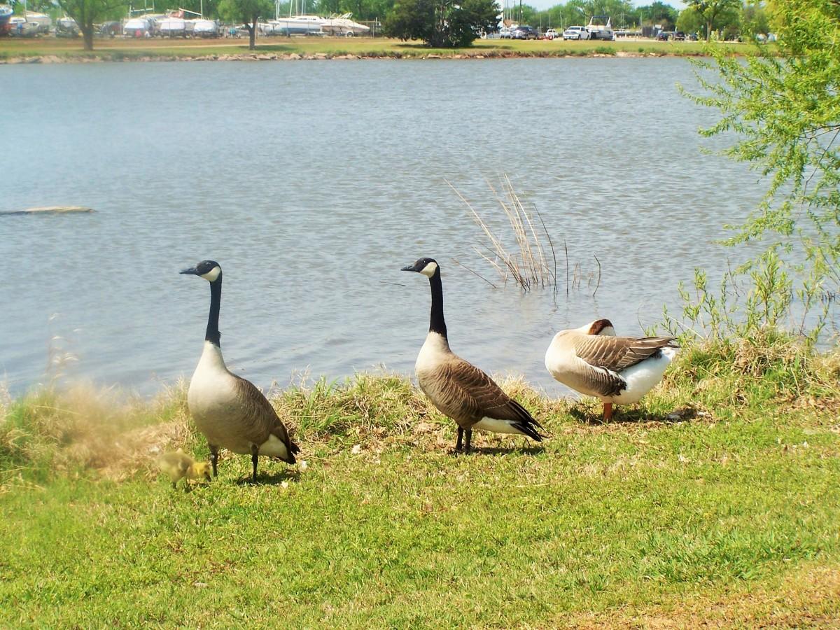 A goose family