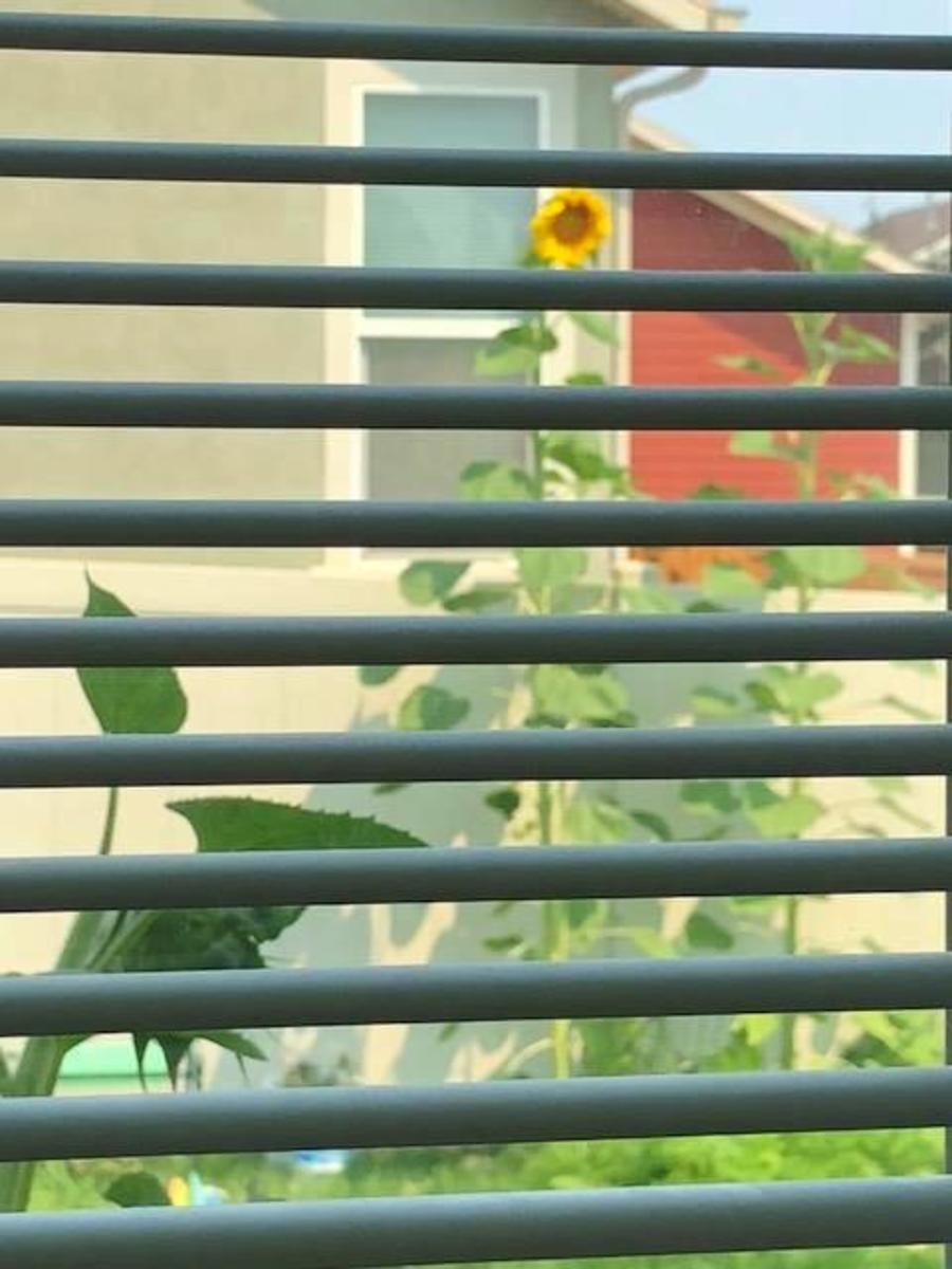 Our our back window - our sunflowers.