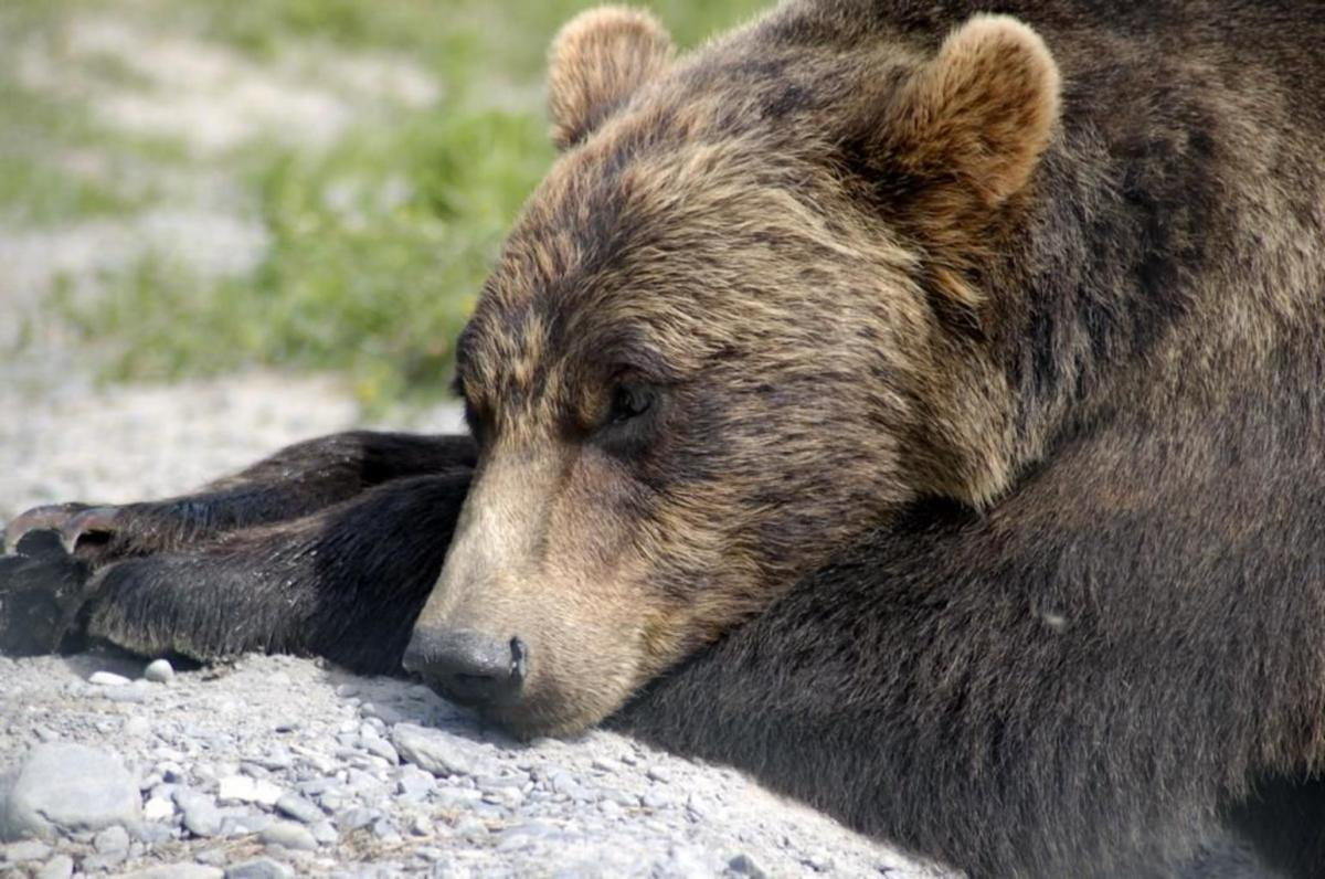 After a day of foraging, nothing beats a long, leisurely nap. . .that is if you are a Grizzly Bear.