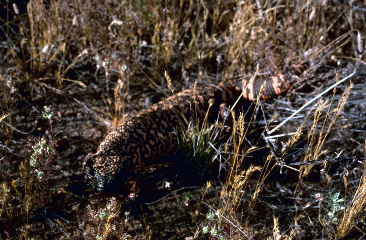 This is no monster, but a Gila Monser or the Pearled Lizard and is very venemous.