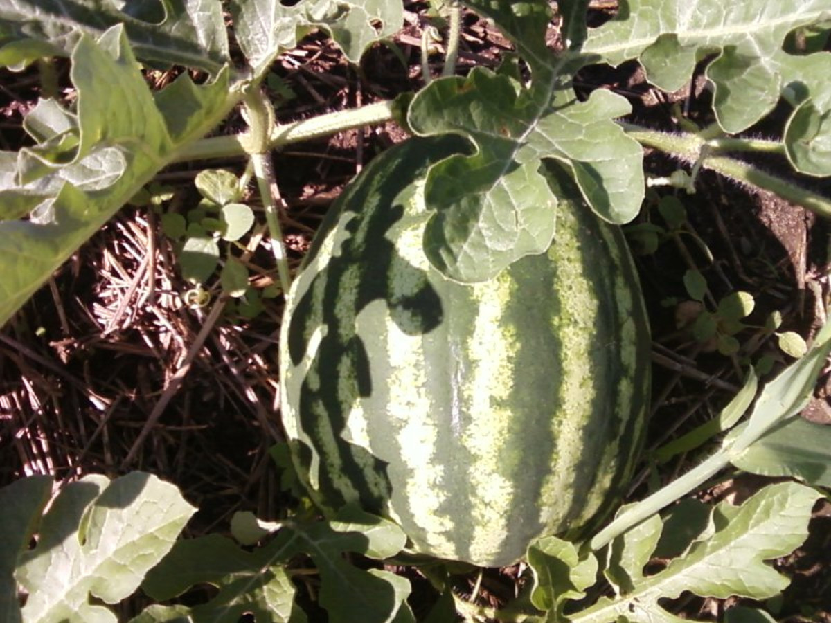 Watermelon growing on the vine